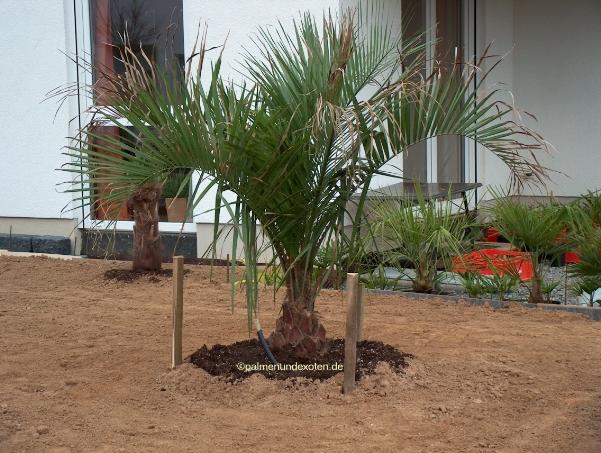 butia eriospatha palmen bananen und andere exotische pflanzen. Black Bedroom Furniture Sets. Home Design Ideas
